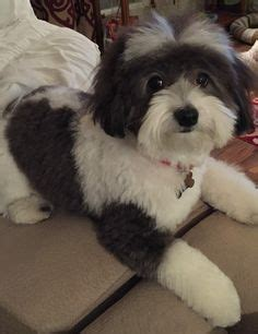 akc rules for giving a havanese a hair cut maltese dog haircuts styles pictures maltese puppies