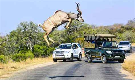antelope jumped  motorists  cross  road nature news expresscouk
