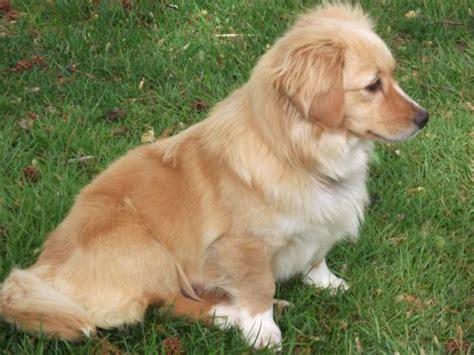 golden retriever corgi mix for sale corgi golden retriever mix puppies pembroke corgi for sale image breeds