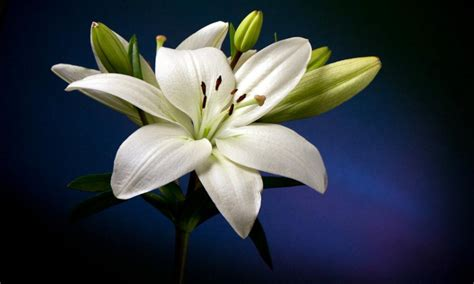 wallpaper bunga lily hd beautiful white lily flower hd wallpaper wallpapers13 com