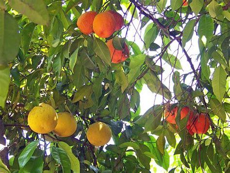 exles of fruit trees the underground garden of baldassare forestiere fresno
