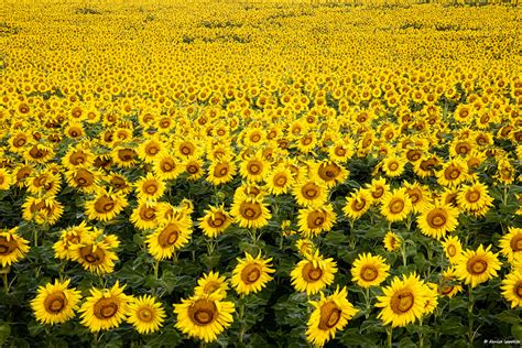 sunflower field sunflower field workshop a creative adventure