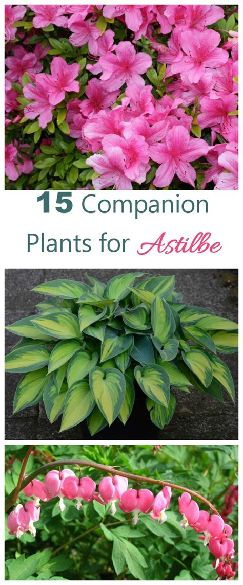 love plants but no sunlight these 15 plants can be your best buddy astilbe companion plants what to grow with astilbe my