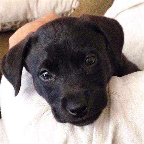 black lab pitbull mix puppy 25 best pit bull mix ideas on