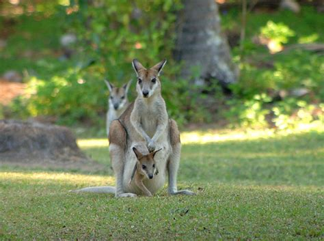 Bugalow by The Agile Wallaby Is Commonly Sighted In Northern Australia