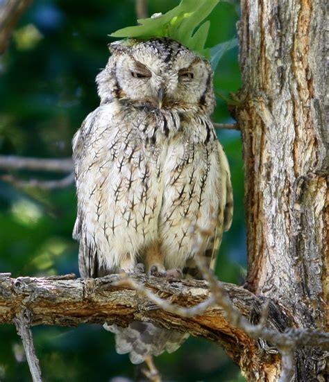 owl in backyard eastern screech owls roost in billings yard