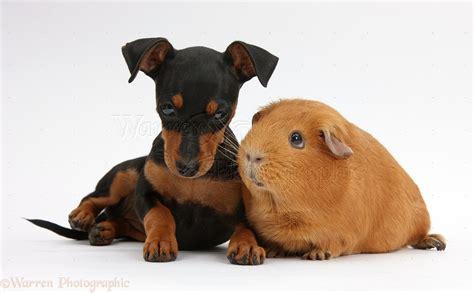 free miniature pinscher puppies miniature pinscher puppies 58 widescreen wallpaper dogbreedswallpapers
