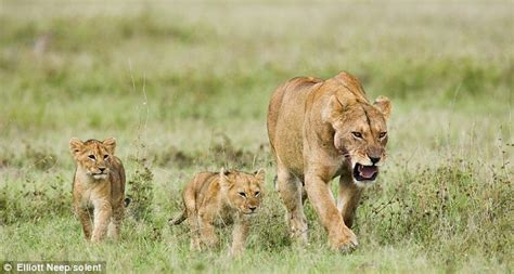 when a lioness growls a s pride books fights