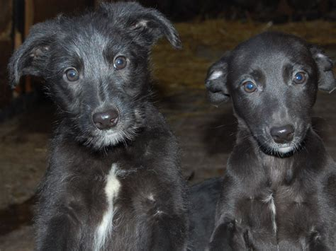 lurcher puppies lurcher puppies for sale abergavenny monmouthshire pets4homes