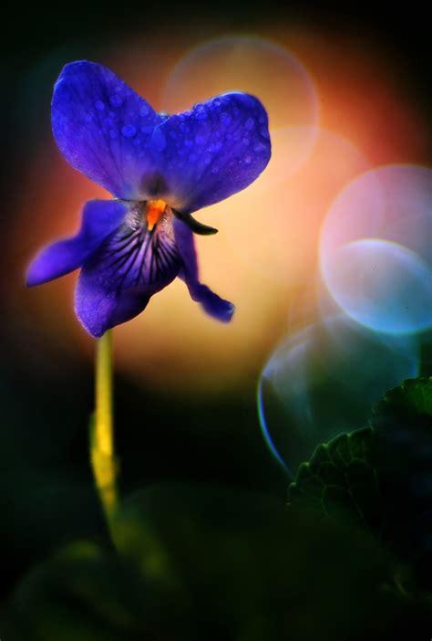 fiore violetto nome violetta di co juzaphoto