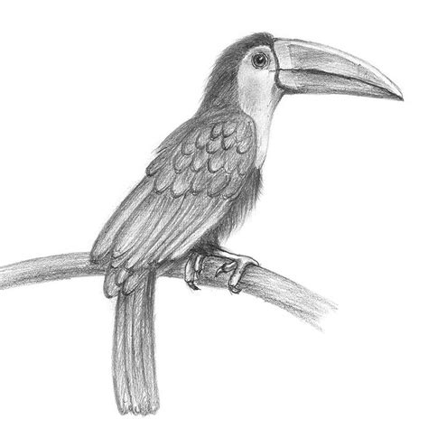 how to draw pencil drawing toucan pencil drawing how to sketch toucan using pencils