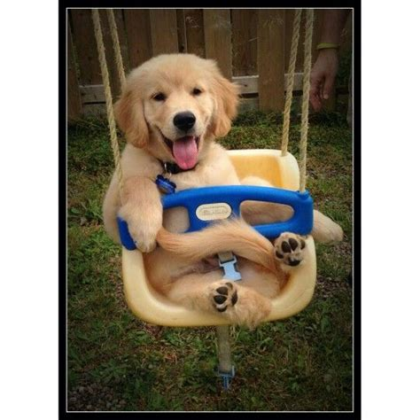 span of golden retrievers 17 best images about d s golden delights golden retriever breeder on