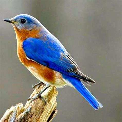quot history alive quot presentation quot all about bluebirds quot by