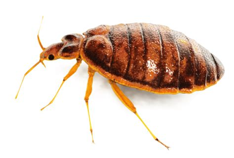 bed bugs hawaii absolute termite pest control hawaii llc bed bugs