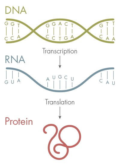 4 proteins in dna new letters added to the genetic alphabet quanta magazine
