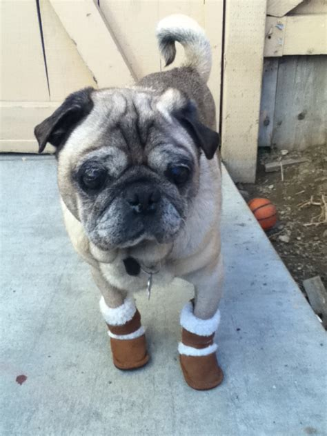 pug in a ugg my had a few of friends today