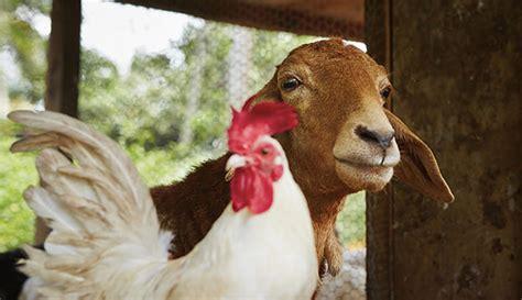 can i have goats in my backyard backyard goats hobby farms
