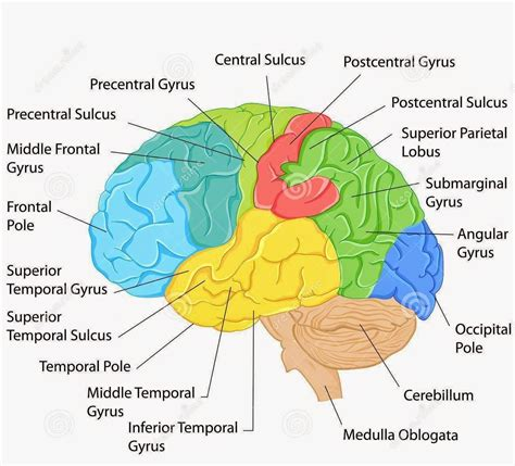 brain diagram top view brain diagram labeled with functions human brain side view