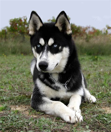 how to take care of a husky puppy how to take care of a siberian husky puppy breeds picture