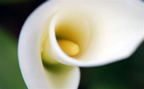 linguaggio dei fiori calla significato calla significato dei fiori linguaggio dei