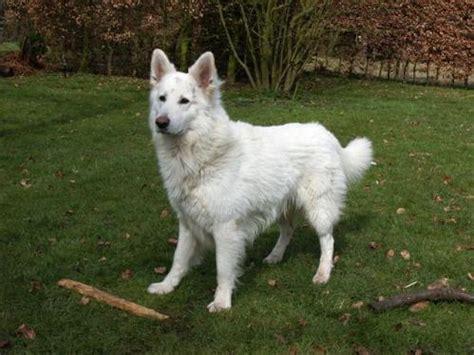 american white shepherd puppies american white shepherd photographs dogbreedworld