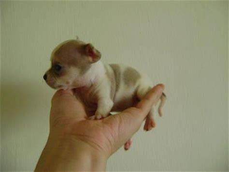 newborn chihuahua puppies chihuahua puppies sold 8 years 1 month newborn taiwan chihuahua puppies sh from kl