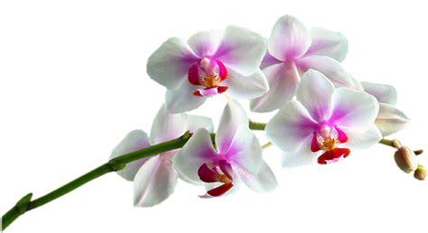 imagenes rosas sin fondo fotoimagenes sinpalabras flores png tubos sin fondo