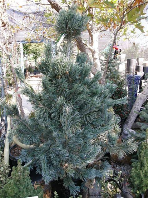 plantfiles pictures limber pine vanderwolfs pyramid