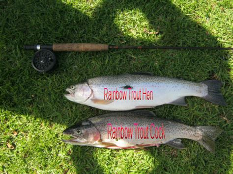 what is the difference beween salmon and sea trout how to tell the difference between a male cock female