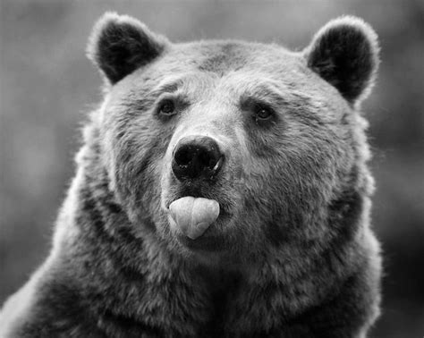 Bear With Tongue Sticking Out | bear sticking out tongue lick me pinterest