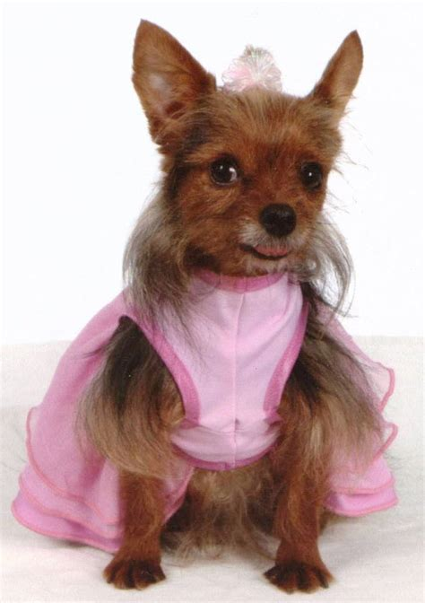 yorkies and yorkie and chihuahua mix newhairstylesformen2014