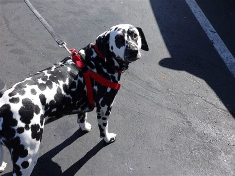 dalmatian puppy cost low cost and cat in northern california dalmatian archives low cost