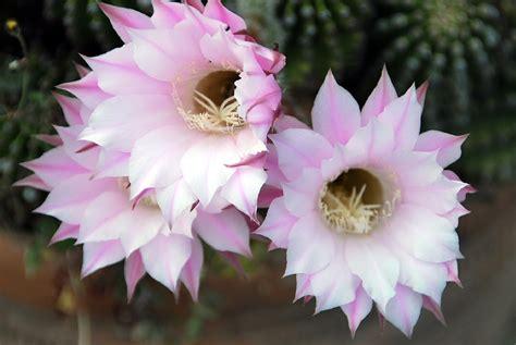 imagenes flores grandes fotos de flores cactus con flores