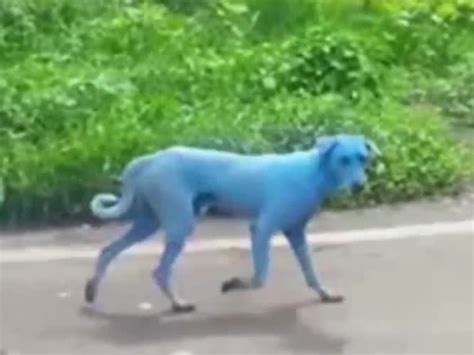 blue dogs india stray dogs in mumbai india are turning blue wptv