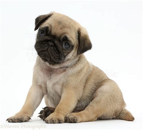 pug puppies pictures free picture of pug puppy coloring europe travel guides