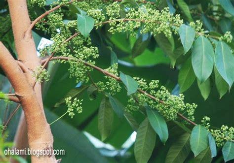 manfaat tumbuhan khasiat daun salam bagi kesehatan