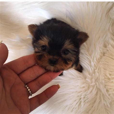 woof woof puppies boutique teacup yorkie baby doll yelp