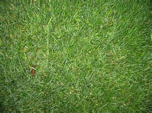 Flowers That Grow Fast From Seed - online plant guide poa pratensis kentucky bluegrass