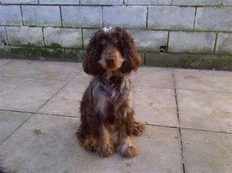 cocker spaniel puppies wi pics photos cocker spaniel puppies for sale wi