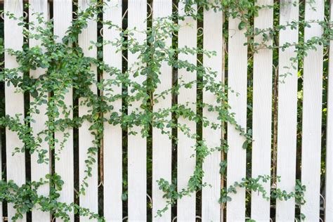 growing fence friendly vines do s and don ts