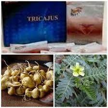 Obat Herbal Tricajus hormon testosteron harga tricajus murah