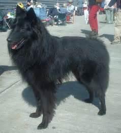 belgian shepherd wolf hybrid lesurvivaliste le choix du chien de s 233 curit 233