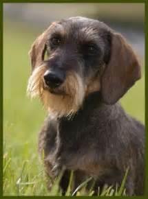 best 25 wire haired dachshund ideas on baby
