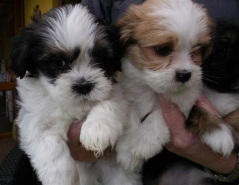 puppies for sale in tri cities tn eclassifieds