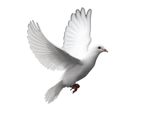great animated dove gifs   animations