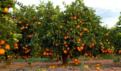 new year oranges with leaves orange cultivation information guide asia farming