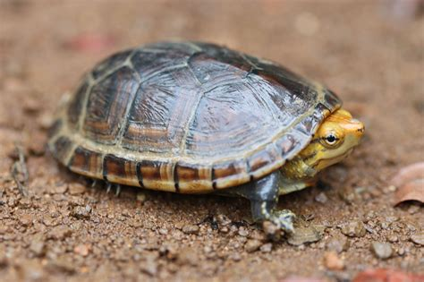 housing and care guide for pet mud turtles