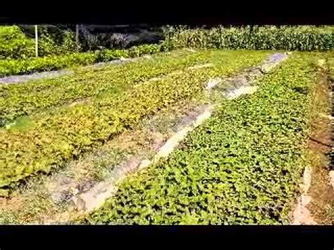 Jual Bibit Azolla Di Palembang jual bibit jabon di palembang sumatera selatan hub 08121605732