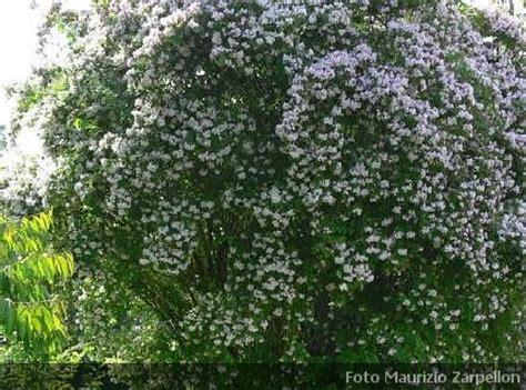 cespugli fioriti sempreverdi kolkwitzia arbusti della famiglia delle caprifoliaceae