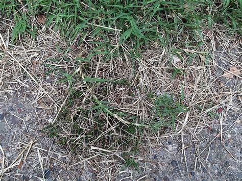 couch grass scientific name bermuda grass cynodon dactylon